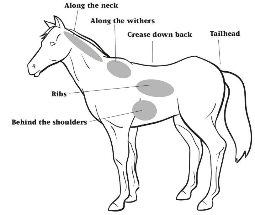 Illustration showing areas of the horses body to address when performing Body Condition Scoring. These include, along the neck and withers, the crease down the back, tailhead, ribs and behind the shoulders.