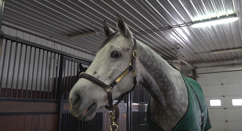 Horse in a halter and blanket standing in walkway outside a stall.