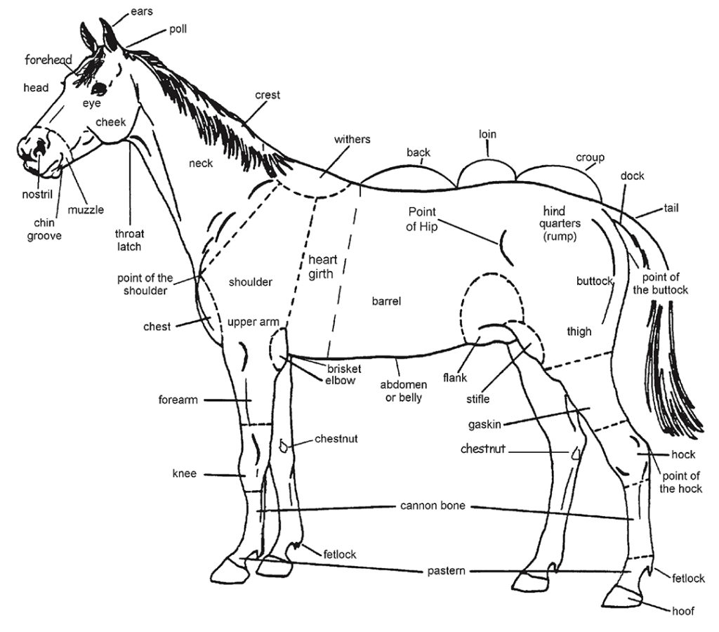 Illustration indicating various external parts of a horse's anatomy