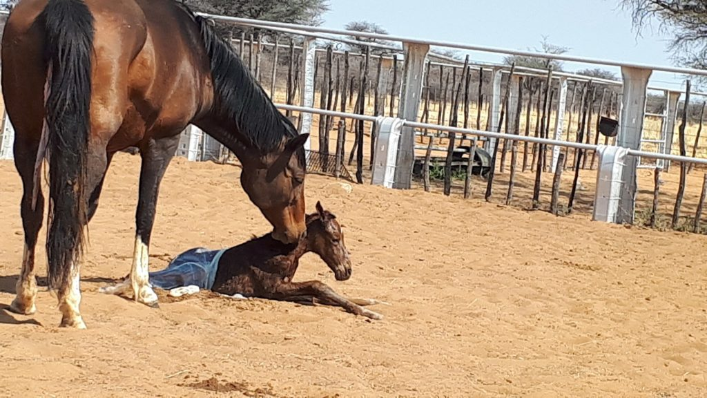 Newborn foal attempting to stand being nuzzled by it's mother in an outdoor enclosure.