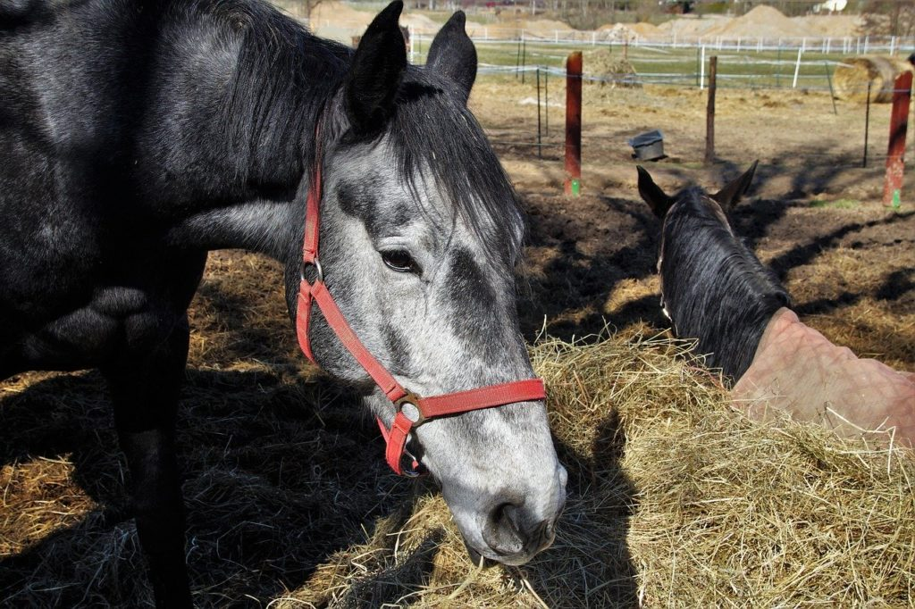 Senior horse with greying muzzle in outdoor enclosure eating hay.