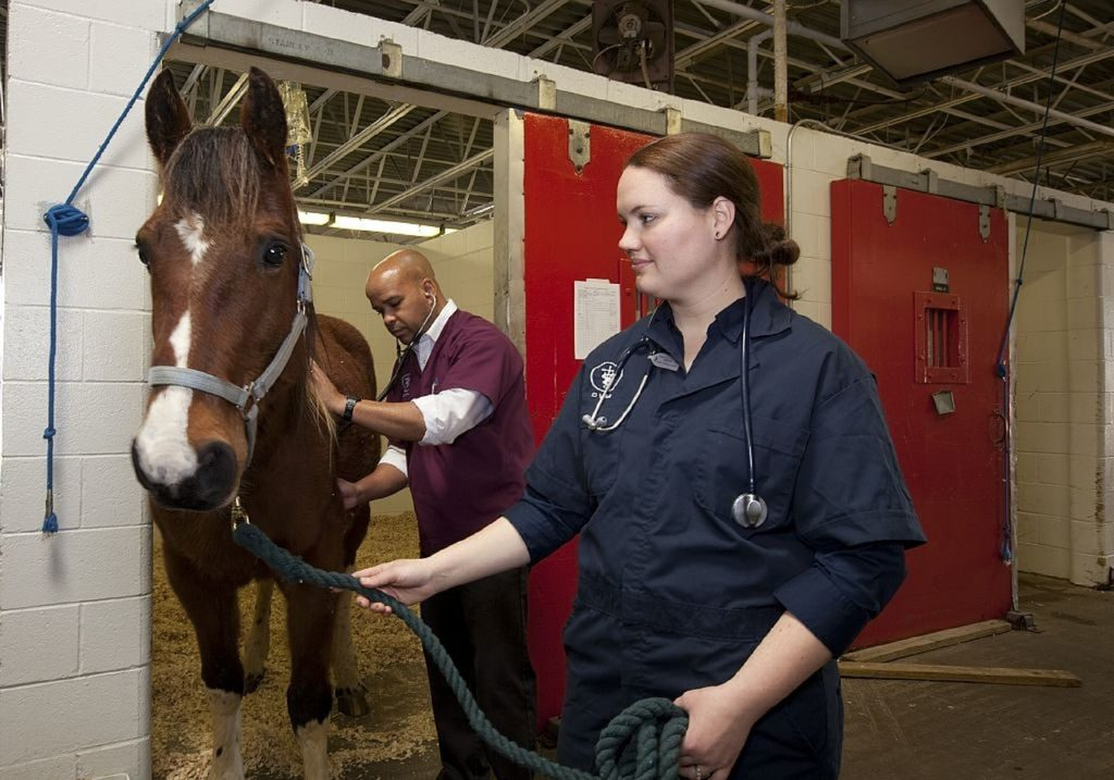 Horse being checked by veterinarian